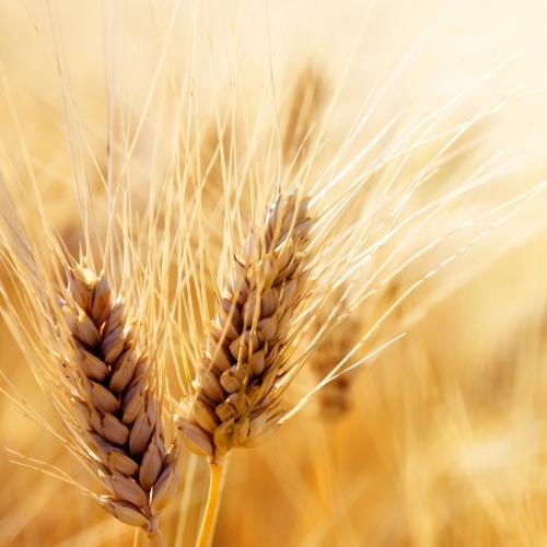 протеїни пшениці